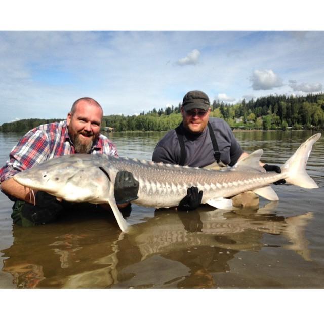 Best pic of the day. #fishingthefraser #ilovesturgeon #haveyoulostyoursturginity #aprilsturgeon