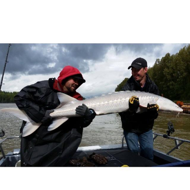 #fishingthefraser #ilovesturgeon #haveyoulostyoursturginity #aprilsturgeon