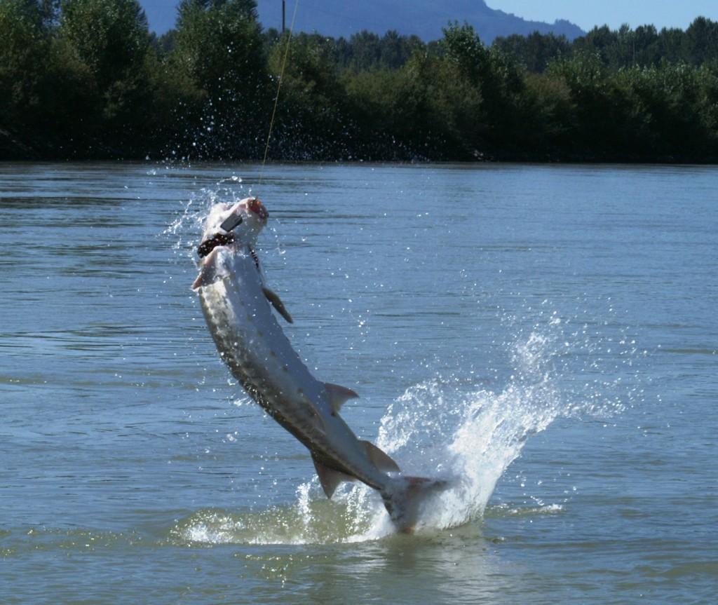 Fraser river sturgeon fishing the fraser for Fraser river fishing